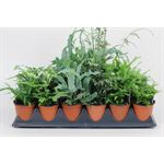 """Additional Images for 3.5"""" Fern Assorted       (Case 18)"""