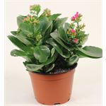 """Additional Images for 6"""" Kalanchoe Purple (Case 8)"""