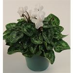 "Additional Images for 4.5"" Cyclamen White (Case 15)"