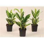 """Additional Images for 3.5"""" Croton Golddust        (Case 18)"""