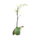 "Additional Images for 5"" Phal. Orchid  1 Spike   (Cs 10)"