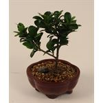 "Additional Images for 5"" Bonsai Assortment Small   (Case 12)"