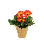"""Additional Images for 4.5"""" Gerbera Assorted (Case 15)"""