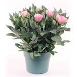"""Additional Images for 6"""" Lisianthus        (Case 8)"""