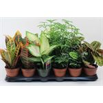 """Additional Images for 4"""" Tropical             (Case 18)"""