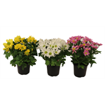 "Additional Images for 4.5"" Mums Assorted (Case 15)"