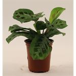 "Additional Images for 3.5"" Prayer Plant       (Case 18)"