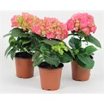 """Additional Images for 4"""" Hydrangea 1 Bloom   (Case 15)"""
