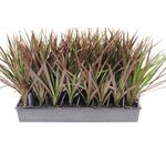 "Additional Images for 3"" Dracaena Magenta     (Case 32)"