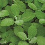 "Additional Images for 4.33"" Herbs    Sage Salvia   (Case 10)"