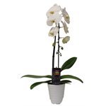 "Additional Images for 5"" Phal. Orchid  1 Spike Cascading in Ceramic (pack 8)"