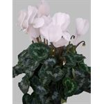 "Additional Images for 6"" Cyclamen White (Case 8)"