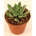 "Additional Images for 3.25"" Echeveria     (Case 18)"
