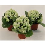 "Additional Images for 2.5"" Kalanchoe White (Case 28)"