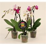 "Additional Images for 2.5"" Phalaenopsis Orchids        (Case 18)"