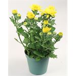 "Additional Images for 4.5"" Mums Yellow Daisy (Case 15)"
