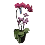 "Additional Images for 6"" Phal. Orchid Garden (Case 7)"