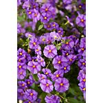 "Additional Images for 10"" Solanum    (Case 3)"