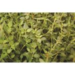 "Additional Images for 4.5"" Herbs Organic Thyme Garden     (Cs 15)"