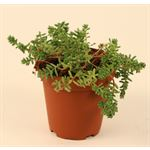 """Additional Images for 3.25"""" Succulents      (Case 18)"""