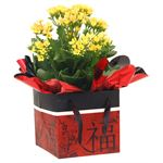 "Additional Images for 4"" Kalanchoe in Chinese New Year Gift Box   (Case 15)"