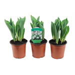 "Additional Images for 4"" Tulips           (Case 18)"