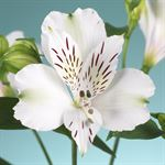 Additional Images for Alstroemeria Select White