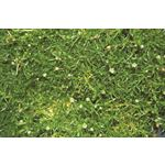 "Additional Images for 4"" Herbs      Irish Moss           (Case 10)"