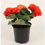 """Additional Images for 4.5"""" Begonia Premium Assorted (Cased 15)"""