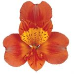 Additional Images for Alstroemeria Select Orange