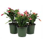 """Additional Images for 4.5"""" Zygo Cactus  (Assorted ONLY)      (Case 15)"""