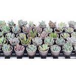 """Additional Images for 2.25"""" Echeveria   (case 38)"""
