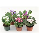 "Additional Images for 4"" African Violet Assorted (Case 18)"