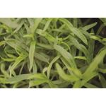 """Additional Images for 6"""" Herbs   French Tarragon        (Case 6)"""