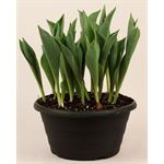 """Additional Images for 10"""" Assorted Bulbs           (Case 2)"""