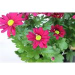 """Additional Images for 4.5"""" Mums Purple Daisy (Case 15)"""