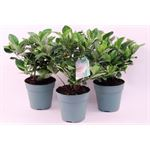 """Additional Images for 4.5"""" Gardenia  (Pack 15)"""
