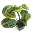 "Additional Images for 3"" Prayer Plant            (Case 32)"
