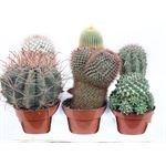 "Additional Images for 6"" Cactus Assorted  (Case 6)"
