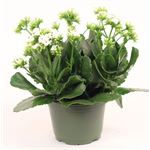 "Additional Images for 6"" Kalanchoe White (Case 8)"