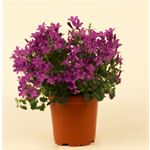 """Additional Images for 4"""" Campanula    (Case 18)"""
