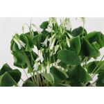 """Additional Images for 6"""" Oxalis Assorted        (Case 8)"""