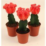"""Additional Images for 3.25"""" Cactus Grafted Moon    (Case 18)"""