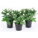 """Additional Images for 4.5"""" Mums White Flat (Case 15)"""