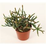 """Additional Images for 2.5"""" Cactus       (Case 28)"""