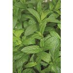 "Additional Images for 4.33"" Herbs      Mint Spearmint   (Case 10)"