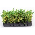 """Additional Images for 3"""" Croton Banana (case 32)"""