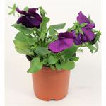 """Additional Images for 4"""" Pansy   (Case 18)"""