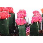 "Additional Images for 2.5"" Grafted Moon Cactus         (Case 28)"
