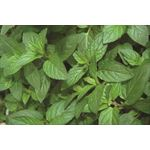 "Additional Images for 4.33"" Herbs      Mint  Peppermint   (Case 10)"